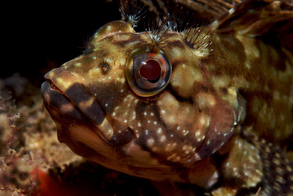 The face of a Hairy Blenny - photo by Eco-Photo Explorers