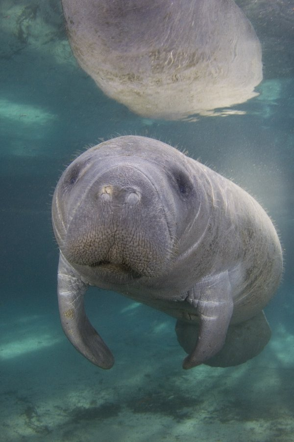 A sea cow captured in a snapshot - by David Schricte